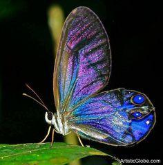 iridescent  | Cithaerial – Beautiful Iridescent Butterfly