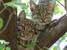 In Illinois Bobcat to be Hunted; In California Bobcat Protected