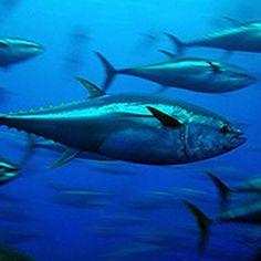 Bluefin-tuna in the Pacific Ocean #fukushima #seafood