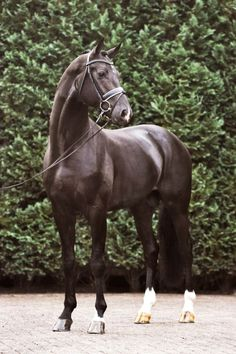 Fairytale 「Lord Leatherdale x Aida」 Dutch Warmblood Stallion