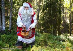 Lapland Santa Claus picking blueberries in the forest of Finland