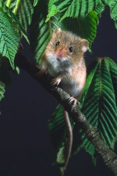 Harvest Mouse amid horse chestnut leaves. Phil Mclean