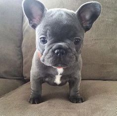 The major breeds of bulldogs are English bulldog, American bulldog, and French bulldog. The bulldog has a broad shoulder which matches with the head. Blue French Bulldog Puppies, Cute French Bulldog, Blue French Bulldogs, Teacup French Bulldogs, Blue Bulldog, Cute Baby Animals, Animals And Pets, Funny Animals, Cute Animals Puppies