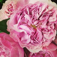 Miranda david austin garden rose. Order David Austin roses & other fragrant garden roses @ www.parfumflowercompany.com. FedEx Shipment starts from only 24 stems throughout Europe