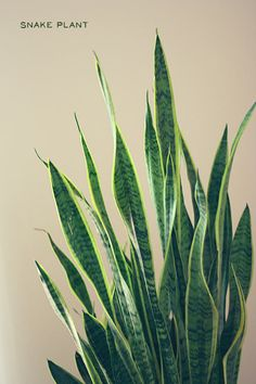 House plant tips- 2 that won't die: philodendron and snake plant