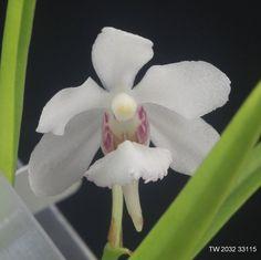 Holcoglossum sinicum