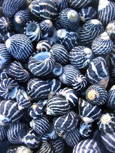 zebra shells, by omnia deep blue and white