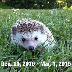 """RIP Biddy the hedgehog: Everyone's favourite Instagram-loving African pygmy hedgehog has died of cancer"" http://prsm.tc/9gYf88"