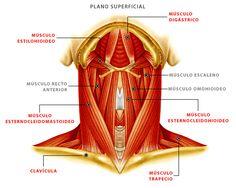 Músculos del Plano Superficial de la Cabeza y Cuello Muscles of the Superficial Plane of the Head and Neck Anatomy Study, Anatomy Art, Medical Anatomy, Med Student, Head And Neck, Physical Fitness, Dentistry, Human Body, Nursing