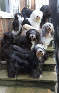 Tibetan Terriers a load of mischief! Cute Puppies, Dogs And Puppies, Cute Dogs, Tibet Terrier, Animals Beautiful, Cute Animals, Bearded Collie, Dog Lady, Old English Sheepdog