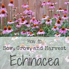 Sowing, Growing, and Harvesting Echinacea
