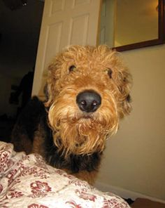 What a sweet and adorable looking Airedale, I just want to reach through the screen and give this dog a love