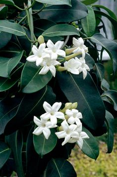 Stephanotis -  evergreen woody flowering climber with glossy, leathery oval leaves & clusters of pure white, waxy, INTENSELY fragrant tubular flowers.  Grows best in sunny, tropical conditions - full sun, abundant water, high humidity & balanced fertilizer.  Likes to be root-bound… needs good drainage.  Popular in wedding bouquets.