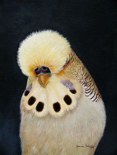 Cinnamon YellowFace Budgerigar | Flickr - Photo Sharing!