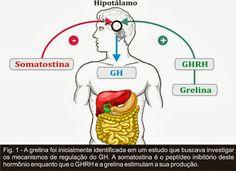 Somatostatina se liga a família de receptores específicos e inibe a adenilil ciclase através de L¹, com medidas adicionais para reduzir o influxo de cálcio líquido. A somatostatina inibe a liberação de GH,mas não a sua biossíntese que bloquearia o crescer-mais. Este conceito é importante, uma vez que pode explicar a repercussão ou explosão ou efeito estirão da secreção de GH-hormônio de crescimento após a iniciação da somatostatina e retirada tanto em roedores e humanos.