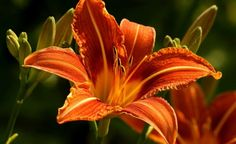 Lírio é o nome dado às flores do gênero Lilium, da família Liliaceae, originárias do hemisfério norte com ocorrências na Europa, Ásia e América do Norte. Mais da metade das espécies são encontradas na China e no Japão. São flores lindas, amadas por jardineiros, floristas e pessoas que apreciam sua fragrância e beleza.  São plantas de bulbo e emitem um único broto por bulbo, de onde saem as folhas e flores.Existem mais de 600 espécies de plantas floríferas diferentes que são conhecidas como…