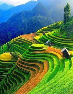 Pirinç tarlaları/Vietnam