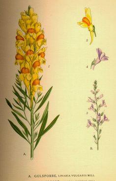 .: Lnica pospolita - ziele przeciwrefluksowe i łagodny laxans