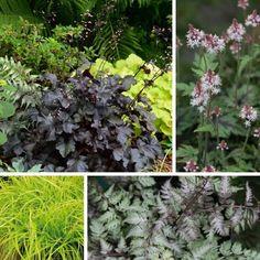 Associer ll'heuchera Black Pearl Heuchera, Shade Plants, Perennials, Shots, Pearl, Image, Black, Zen Gardens, Garden