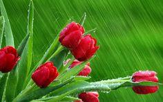 Kırmızı laleler ve yağmur