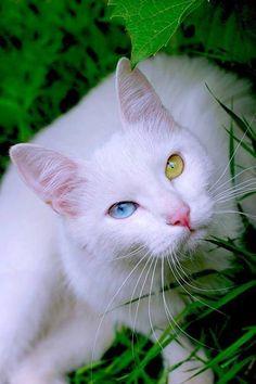 e86f402db7eb95 Turkish Van Cat -  cat  catbreeds  vancat  turkishvancat Pitbull