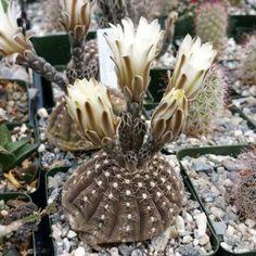 Sämlinge Astrophytum 50 Stück H: 2,8 cm Mini Blumen-Töpfe D:ca.3,2 cm