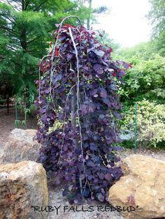 Ruby Falls cercis Tree red bud