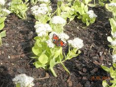 ► Butterfly on flower ◄