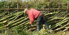 """""""Committed to conserving hedgerows through traditional skills"""" - Great informational site with lots of information on traditional hedge laying"""