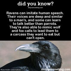 Ravens are fascinating.