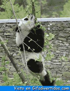 ★★★★★ Gifs animados tumblr: Panda colgante I➨ http://www.diverint.com/gifs-animados-tumblr-panda-colgante/ →  #gifsanimadosconmovimientoybrillo #gifsanimadosfacebook #gifsanimadosyfrasescortas #gifsgraciososparablackberry #gifsgraciososparacompartirenfacebook