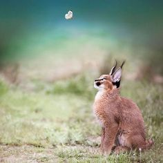 Le caracal, la plus mignonne espèce de chat? Baby Caracal, Caracal Kittens, Cute Kittens, Cats And Kittens, Beautiful Cats, Animals Beautiful, Beautiful Pictures, Cutest Cats Ever, Small Wild Cats