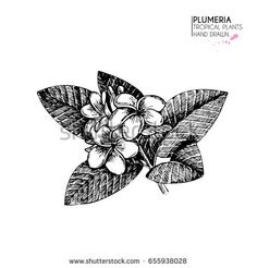hand drawn tropical plant icons. Exotic engraved leaves and flowers. Isolated on white. Plumeria frangipany flowers and leaves on twig. Vintage style illustration. Use for exotic beach, wedding, party