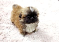 Micro Tea cup Pekingese Puppy. Add this dog to the list of puppies I want in my lifetime. SO STINKIN ADORABLE.