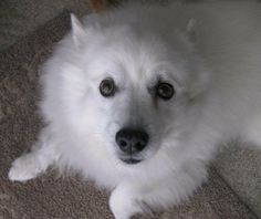 The American Eskimo is a beautiful, small to medium-size Nordic-type dog that appears like a miniature Samoyed. There are 3 varieties: toy, miniature and regular.