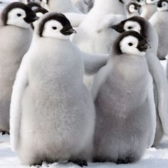 """""""Two fluffy emperor penguin chicks cuddle up, one putting its flipper around its companion."""" Photograph by David Schultz."""