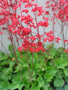 middle of west side of house Heuchera Firefly -- Bluestone Perennials