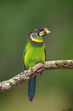 Fire-tufted Barbet Wong Barbet Megalaimidae Thailand's status as a rare endemic birds. The green nature Lmๅ The belly is yello...