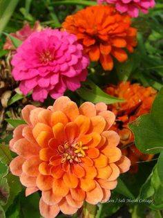 Zinnias are so happy!  Pool area & playhouse area (in colorful tires that are stacked and staggered.