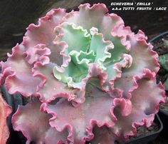 Echeveria 'Tutti Frutti' - Google Search