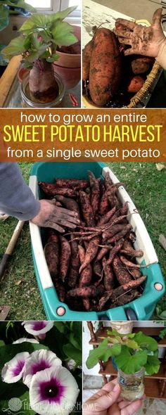 With just one sweet potato and six simple steps, we harvested hundreds of sweet potatoes. #gardeningideas
