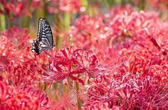 Speaking of the beginning of fall, here in Japan, people have what is called Higan (お彼岸), a Buddhist holiday exclusively celebrated by Japanese sects during both the Spring and Autumnal Equinox. The red spider lily is the flower that signals the arrival of fall. On that day in Japan, people go visit the grave of their ancestors in what is referred to as Haka-mairi (お墓参り) #japan #japaneseculture #tradition #fall #flower #redspiderlily