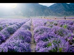 Be well, live well, embrace wellness with Young Living Essential Oils. Join me on my journey with oils! Essential Oil Beginner, Yl Essential Oils, Young Living Essential Oils, Lavender Fields, Lavender Oil, Young Living Lavender, Pure Oils, Lany, Eating Well