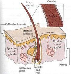 Apocrine Sweat Gland-empty into hair follicle Eccrine Sweat Glands - empty onto surface of the skin-Integumentary System