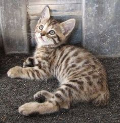 Cats Kittens For Adoption Near Me . Easy Cute Baby Animals To Draw Step By Step with Cats & Kittens Magazine Manx Kittens, Kittens Cutest, Cats And Kittens, Manx Cat, Fluffy Kittens, Big Cats, Pretty Cats, Beautiful Cats, Animals Beautiful