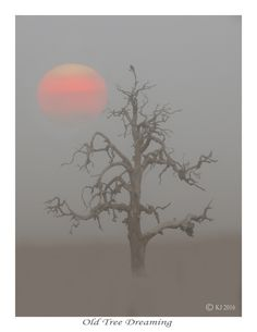 OLD TREE DREAMING - (prints  available), dead tree, mist, sun, sunrise, pictures with sunsets, nature photography,fog in photography