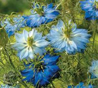 Nigella (Love in A Mist). Such easy plants to grow. Simply scatter nigella seed across a patch of bare soil and let it look after itself! With jewel-like flowers and delicate ferny leaves, nigella is much tougher than it looks. As the flowers fade, this pretty plant will set seed for the following year. What could be simpler!