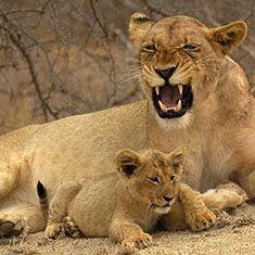 Lionne et lionceau en Afrique du Sud