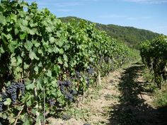 Guglierame vineyards: 100% Ormeasco grapes! Enjoy it!
