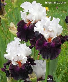 Tall bearded Irises and rebloomer bearded iris bulbs for sale. Healthy freshly dug Bearded Iris rhizomes in Large sizes. Beautiful Tall bearded Iris collections from our garden. Iris Flowers, Exotic Flowers, Amazing Flowers, Colorful Flowers, Planting Flowers, Beautiful Flowers, Iris Garden, Garden Plants, House Plants